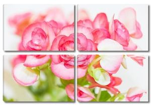 Красивый цветок бегонии с мягким фокусом фон