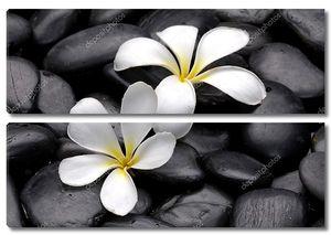 Цветок Франжипани на пляжных камнях