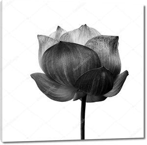 Цветок лотоса в черно-белом на белом фоне .