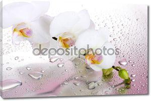 Белая орхидея на розовом фоне