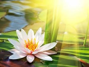 цветок лотоса в пруду