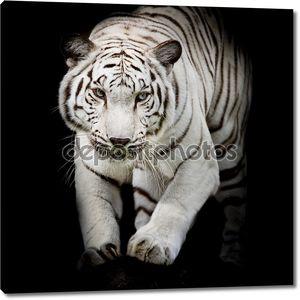 Белый тигр прыгает, изолированные на черном фоне