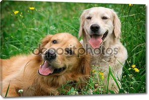 Портрет двух молодых красоты собак