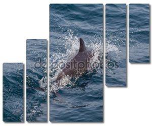 Полосатый дельфинов Azores