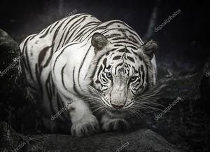 Белый тигр на черном фоне