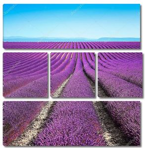 Цветущие поля лаванды