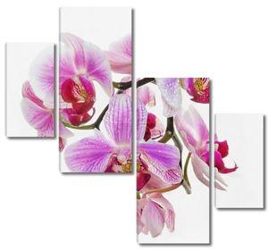 цветущих орхидей Неон