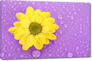 Желтая ромашка на фиолетовый фон