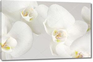 Фон с белыми орхидеями
