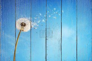 Одуванчик часы, рассеивая семена
