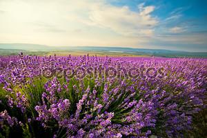 поле лавандЫ