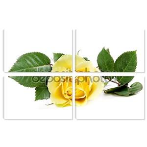 Свежие желтые розы