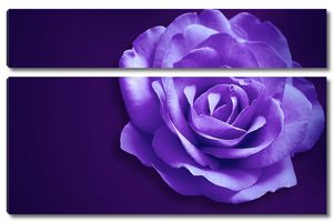 Крупно фиолетовая роза