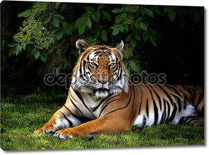 Суматранский тигр в зелени