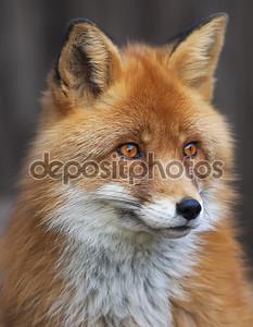 Портрет red fox мужской, обыкновенной vulpes vulpes. Руководитель красивый лес дикий зверь. умный взгляд хитроумный дикие собаки, квалифицированных ящера и элегантных животных. мило и cuddly существо.
