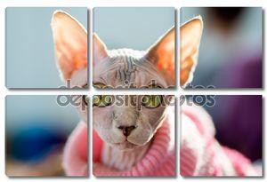 кошка сфинкса
