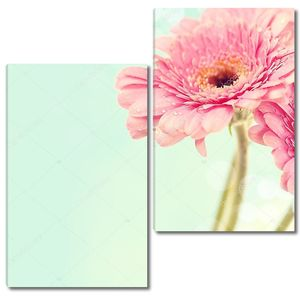 Цветы герберы розовые