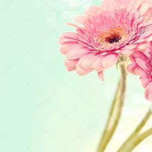 Цветы герберы