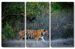 Бенгальский тигр на прогулке