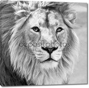 Черно-белый портрет макрос азиатского льва в высоком ключе.