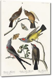 Арканзавская мухоловка, ласточкин хвост
