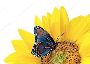 Подсолнечника с Голубая бабочка