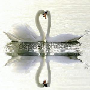 любовь лебедей