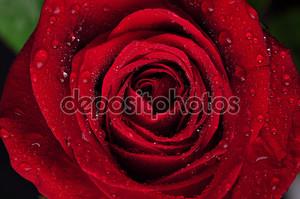 Красивая красная роза с капли дождя