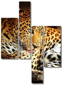 Леопард за умыванием