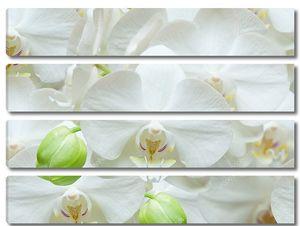 Белая нежная орхидея