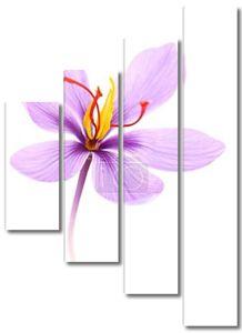 Заделывают шафрана цветка, изолированные на белом фоне