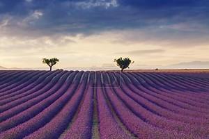 Красивые цвета фиолетовый лавандовые поля вблизи Валансоль, Прованс