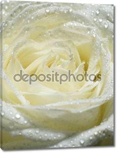 Белая роза с каплями росы