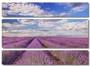 Цветущие поля лаванды в Провансе, Южной Франции