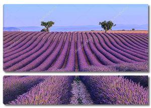 Поле лаванды во Франции