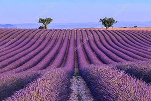 Поле лаванды в лето Франция