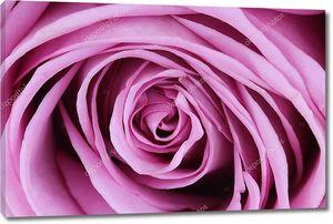 Крупно темно-розовая роза
