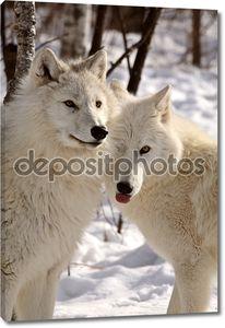 Волков Арктики в зимний период