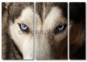 Хаски голубые глаза