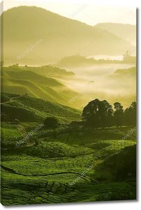 ферма чая