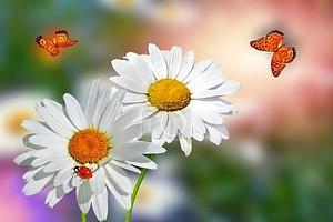 Летний пейзаж. Цветки белые ромашки