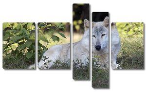 Серый волк в живой природе
