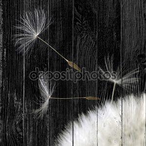 Семена одуванчика крупным планом в черной задней части