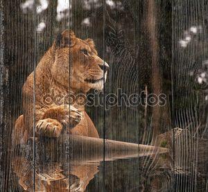 Потрясающие львица, отдыхая на теплый день отражения в воде
