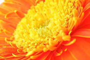 оранжевые ромашки крупным планом