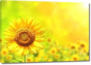 ярко желтый подсолнух на зеленом фоне