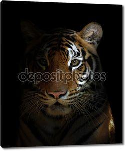 Бенгальский тигр головы