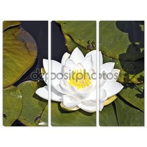 Белый лотос водяной лилии в озере