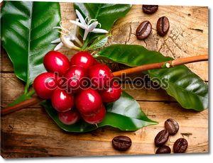 Растение кофе. Красная фасоль кофе на ветке кофейного дерева