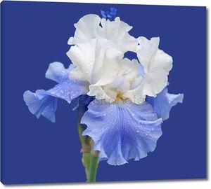 Синий и белый Ирис, изолированные на синий